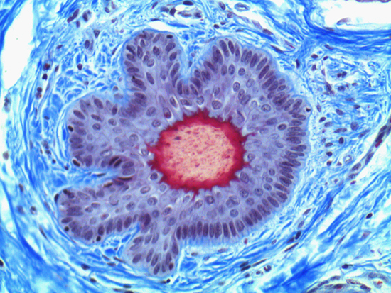 Brightfield Image of Dermal Tissue